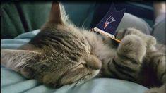 #NEPatriots #NFL #Kitten #Cat #Caturday #NewEnglandPatriots #Patriots