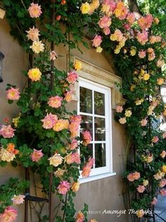 "#Roses, #gardening, #flowers... This looks like the climber ""Josephs Coat"". ....repinned for...http://www.rose-works.com"