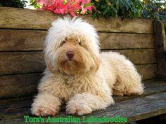 Toras-Australian-Labradoodles-e1365094836777.jpg (600×450)