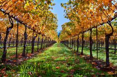 Winery Photography, Napa Valley Vineyard Home Decor, Sonoma Art, Autumn Print, California Wine Country Canvas Gallery Wrap, Wine Wall Decor by SusanTaylorPhoto on Etsy