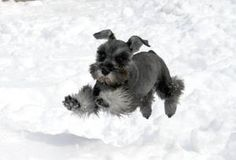 weeeeee how cute is this?? a darling mini schnauzer having a blast playing in the snow✨✨