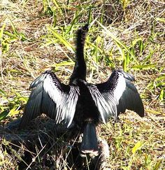 Male anhinga spreading his wings to dry