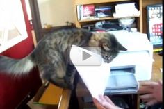 Ralph The Cat Helps Out In The Office - Love Meow