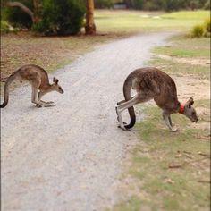 #kangaroos #anglesea #victoria #au by fede.gasperi http://ift.tt/1KosRIg
