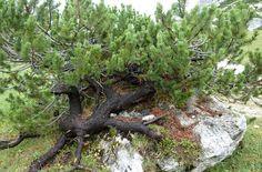 Pinus mugo Mugo Pine, Pine Forest, Garden Sculpture, Fantasy, Outdoor Decor, Nature, Plants, Home Decor, Naturaleza