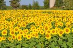 Even though I'm going to have primarily native plants, I'd really like to have a #sunflower field