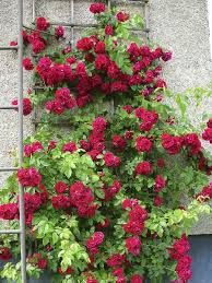 Köynnösruusu Flammentanz Climbers, Flower Designs, Outdoor Structures, Planting, Garden, Artwork, Flowers, Roses, Plants