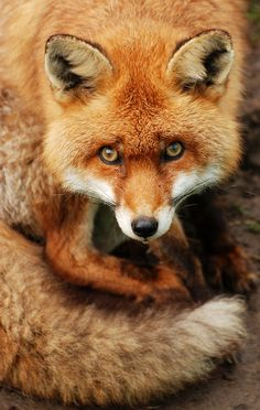 .I see something in this fox's eyes that makes me think he should be loved and respected, not hunted.