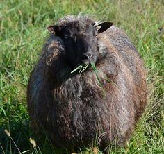 36 ounce Icelandic Wool Fleece by flatcreekpottery on Etsy
