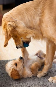 @Cheryl Kendig @Claire Kendig I need to get a golden puppy so this can happen :) Riley would be such a good big brother!!