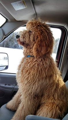 In this article, we will be discussing Goldendoodle grooming. We will outline the most important steps on how to groom a Goldendoodle, and we will even touch a little bit on Goldendoodle grooming styles. Goldendoodle Haircuts, Goldendoodle Grooming, Dog Grooming, Standard Goldendoodle, Apricot Goldendoodle, Labradoodle Dog, Standard Poodles, Cute Dogs And Puppies, I Love Dogs