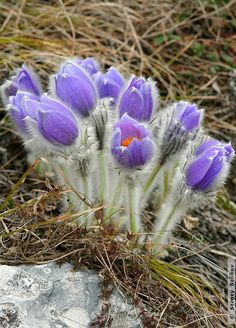 Flowers Nature, Small Flowers, Beautiful Flowers, Alpine Garden, Alpine Plants, Alpine Flowers, Geraniums, Flower Making, Garden Plants