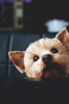 Can I have…just a piece?? Found at: http://bit.ly/2cUngNC   Found at: http://itsayorkielife.com/can-i-have-just-a-piece/  #Yorkie,#YorkshireTerrier,#YorkshireTerrierLove,#ItsaYorkieLife