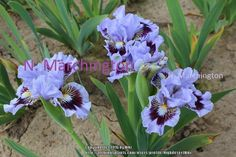 Photo of Standard Dwarf Bearded Iris (Iris 'Oh Canada') uploaded by HighdesertNiki