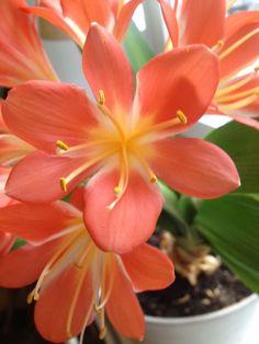 flor plumeria naranja - Buscar con Google
