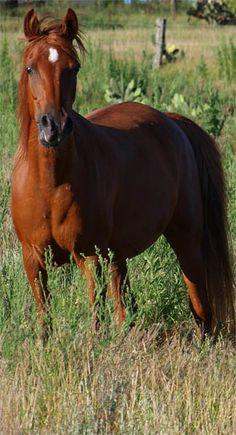 Agecroft Layla asil Straight Egyptian Arabian Horse