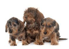 Puppies Wire Haired Dachshund