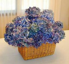 Dried Hydrangeas from Oregon