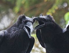 Frans de Waal - Public Page RAVENS! Look at the erect ear-tufts, which are so typical of the species. Great photo by Wendy Davis Bird Pictures, Funny Animal Pictures, Wendy Davis, Blackbird Singing, Quoth The Raven, Counting Crows, Dark Wings, Jackdaw, Crows Ravens