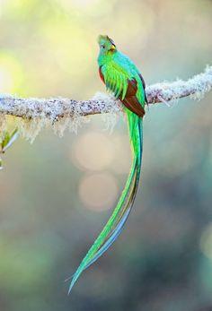 burnned:  fairy-wren:  resplendent quetzal (photo by halex)  Wow