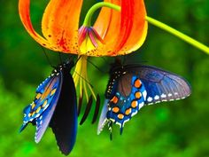 Butterflies feeding on nectar of Gloriosa Lily