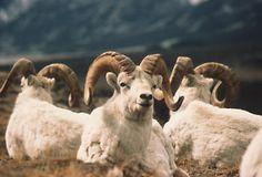big horn sheep Big Horn Sheep, Yukon Territory, Rocky Mountain National Park, Dahl, Big Game, First Nations, Rocky Mountains, Aries, Horns