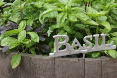 A garden can never have too much basil. December 2012. Katherine Cooper.