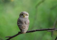 La jolie Chevêche brame ! Photo de Vishal Monakar  #mignon #chouette #faune #oiseau #sauvage #nature  __________________________________  The pretty Spotted owlet ! when you rotate your neck by 180 degrees Photo by Vishal Monakar — National Geographic Your Shot   #cute #owl #gurgaon #wildlife #owlet #bird #wild #nature