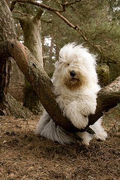 Old English Sheepdog--very cute, this is my favorite @ Elena Rivas