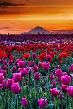 Sunset in Tulip Farm in Woodburn, Oregon