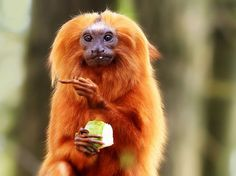 The thumbnail invisible gesture middle finger monkey eat eating Golden lion tamarin at Apenheul Apeldoorn the Netherlands Holland zoo animal long red orange hair apple he went that way primate