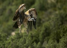 Jaylan Waite - High Resolution Wallpapers = vulture wallpaper - 2048x1460 px