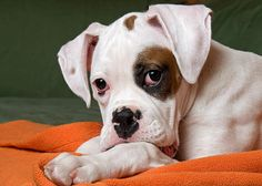 Boxer Puppies 7                                                                                                                                                      Mais