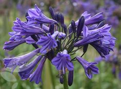 African lily Agapanthus Black Pantha (PBR) - this stunning lily is perfect for late summer flower arrangements and will also look great in a large patio pot