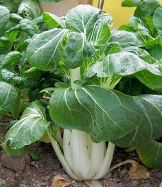 tips on growing pak choi Chinese Vegetables, Planting Vegetables, Growing Vegetables, Veggies, Edible Garden, Vegetable Garden, Garden Journal, Different Vegetables, Permaculture