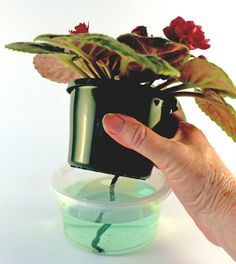 """African violet wick watering: TIP: pot for mature plant should be 4"""" diameter at top and less than that in height"""