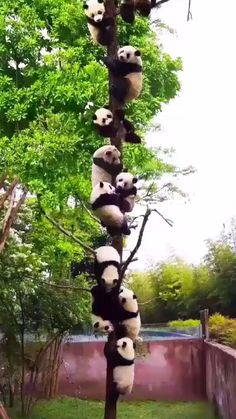 Follow me for more videos! Like & Share and dont forget the comment !📌. #cute #pandas #catofday #animals #funny #videos Panda Gif, Panda Funny, Cute Panda, Panda Video, Panda Tree, Funny Bears, Nature Gif, Cat Behavior, Cat Health