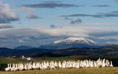 REUTERS/Leonhard Foeger   A gaggle of geese stand in a pasture near the village of Edlitz, in Lower Austria, some 75 km (47 miles) south of Vienna November 7, 2012.