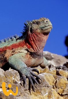 Einmal ''Live'' so eine Hoheit sehen?? Wie wäre es mit Tauchurlaub auf Galapagos? Sommer, Sonne, Strand und jede Menge außergewöhnliche Tiere ♥ #galapagos #sommer #sonne #strand #traumhaft #exotisch #außergewöhnlich #tauchsafari #liebedeinleben #tauchen #schnorcheln #wirodive #erlebnisreisen #rießenechse #bunt #blauerhimmel #traumurlaubsziel