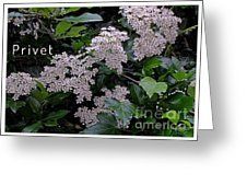 Privet Blossoms 2 Greeting Card by Joan-Violet Stretch