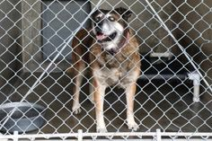 Lilly is an older lady; she is blind, she is at San Bernardino Shelter and has only TWO DAYS TO LIVE. But she still has hopes and still puts a beautiful smiles on her faces. Please step up to FOSTER OR ADOPT HER TO SAVE HER LIFE. SHE HAS NO TIME LEFT. HURRY!  San Bernardino City Shelter - Phone: 909-384-1304, Address: 333 Chandler Pl., San Bernardino, CA 92408