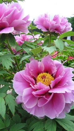 you just smell how beautiful they are? Shabby Flowers, Vintage Flowers, Pink Flowers, Beautiful Flowers, Peony Flower, My Flower, Magnolia, Decoration Plante, Peonies Garden