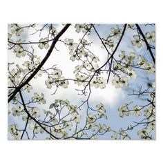 Shop Dogwood Blossoms and Blue Sky Photo Print created by NancyTrippPhotoGifts. Pacific Dogwood, Sky Photos, White Clouds, Room Paint, Postcard Size, Blossoms, Paper Texture, Backdrops, Tapestry