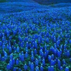 Texas Bluebonnets near Gun Barrel City TX