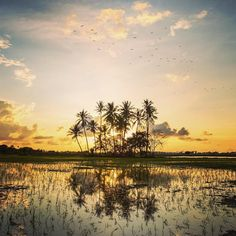 Golden hour #drobosummer #tropical #sunset #discover #explore #trees #coconuttrees #reflection #photo #photography #paddyfield #travelphotography #travel #urban #goldenhour