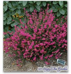 Genus: Erica Species: cinerea Atrorubens