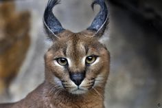 Caracal by Amandine Herrero - Photo 64636451 - 500px