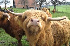 CHECK out our picture gallery to see why Highland Cows are the cutest breed of cattle around.