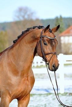 Con Chello (only TG) | Ludger Beerbaum Stables