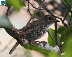 "https://www.facebook.com/WonderBirdSpecies/ Blue-capped rock thrush (female)(Monticola cinclorhynchus); Indian subcontinent; IUCN Red List of Threatened Species 3.1 : Least Concern (LC)(Loài ít quan tâm) <("") Hoét đá chỏm đầu lam (mái); Tiểu lục địa Ấn Độ; HỌ ĐỚP RUỒI CỰU THẾ GIỚI - MUSCICAPIDAE (Old World flycatchers)."